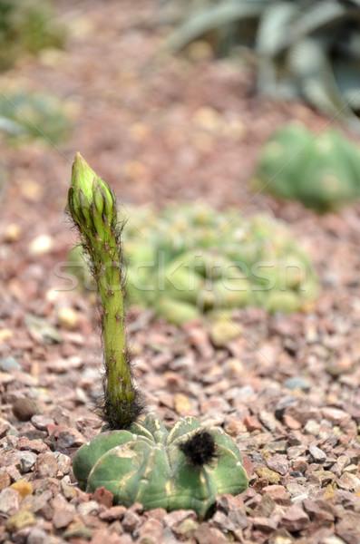 Budding Gymnocalycium cactus flower Stock photo © tang90246