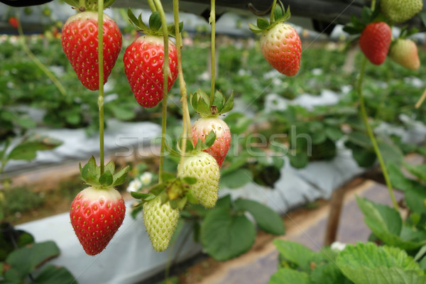 świeże truskawek dorosły żywności charakter liści Zdjęcia stock © tang90246