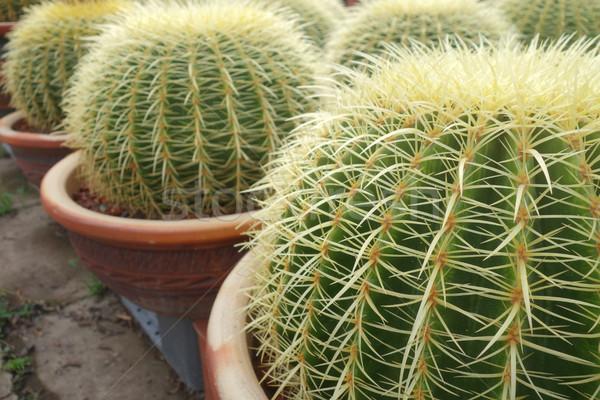 Zielone Kaktus wody lata piasku piłka Zdjęcia stock © tang90246