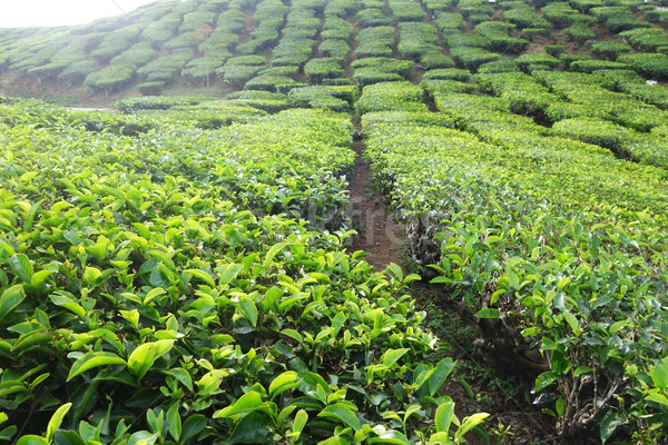 Tea plantation located in Cameron Highlands  Stock photo © tang90246