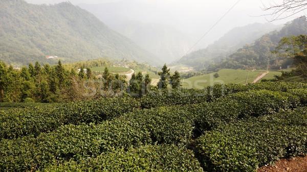 Tea Plantation on highland Stock photo © tang90246