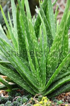 Aloe vera Stock photo © tang90246