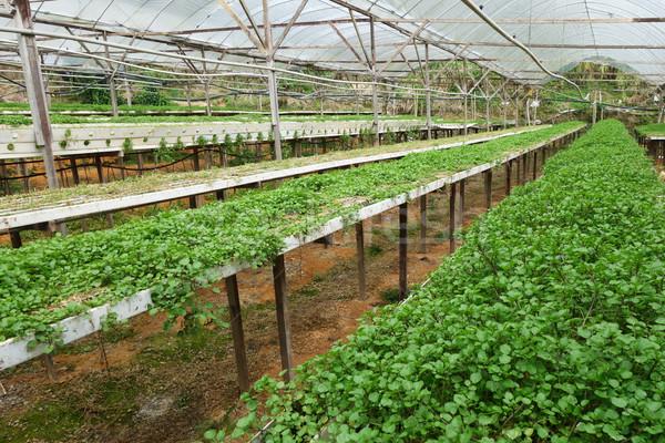 Green vegetable watercress growing Stock photo © tang90246