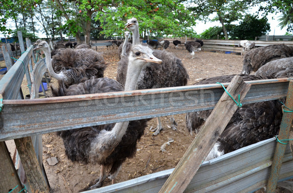 Group of ostriches on a farm with green surrounding Stock photo © tang90246