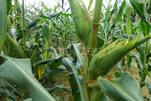 Mais Bereich Hochland Blatt Hintergrund grünen Stock foto © tang90246