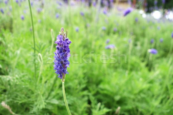 Lavanta çiçekler doğa çiçek alan Stok fotoğraf © tang90246