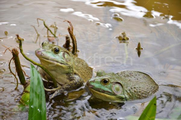 Bull Frogs At A Frog Farm Stock photo © tang90246