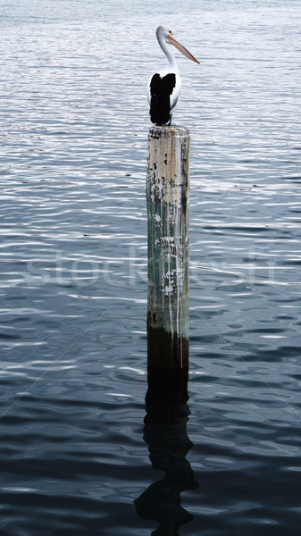 Pelican sits on a pylon post Stock photo © tang90246