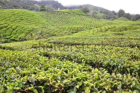 Té plantación hermosa frescos té verde Taiwán Foto stock © tang90246