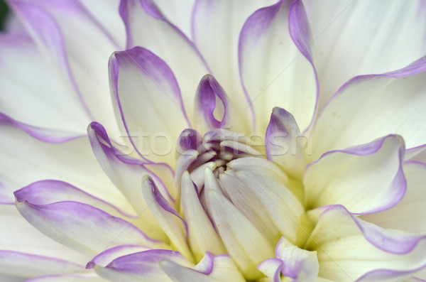 White and purple Dahlia close-up Stock photo © tang90246