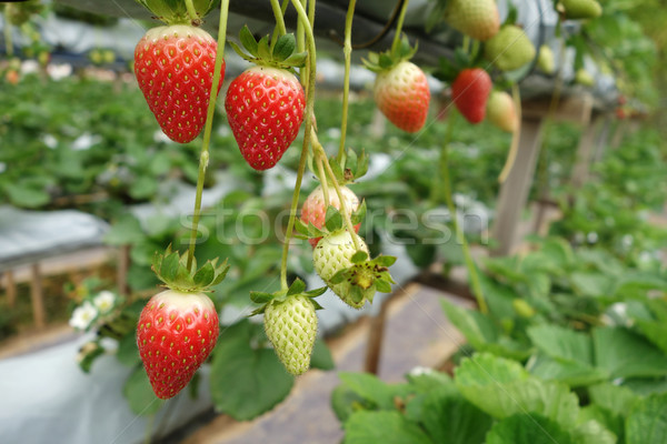 Fresh strawberries that are grown in greenhouses Stock photo © tang90246