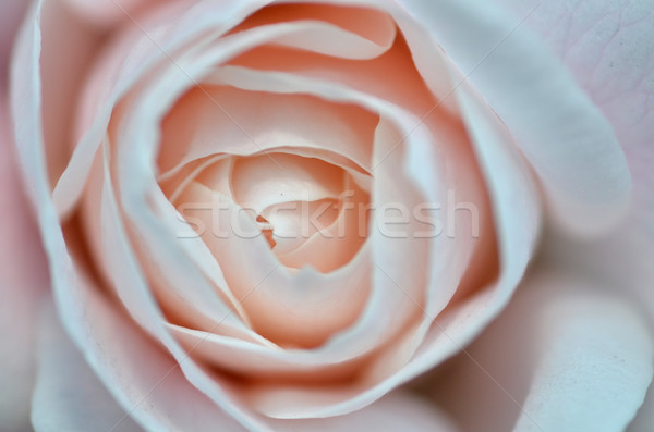 Softness pink rose on pink background Stock photo © tang90246