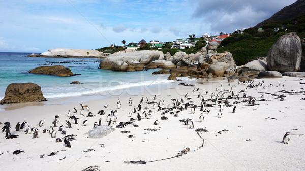 Faux pingouin colonie plage Le Cap Afrique du Sud Photo stock © tang90246