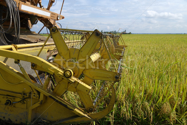 Harvesting ripe rice on paddy field  Stock photo © tang90246