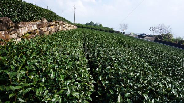 чай плантация красивой свежие зеленый чай Тайвань Сток-фото © tang90246