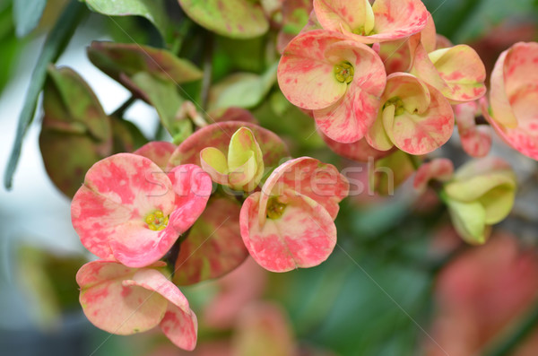 Crown of thorns flower Stock photo © tang90246