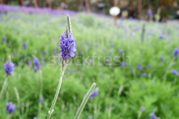 ラベンダー 花 自然 花 フィールド ストックフォト © tang90246