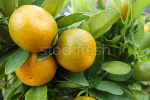 Citrus orange grow on tree Stock photo © tang90246