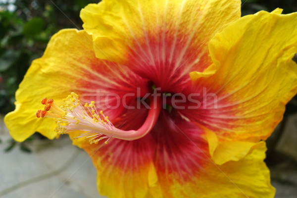 Flower of red and yellow hibiscus Stock photo © tang90246