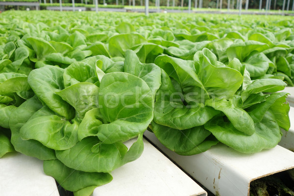 Commercial greenhouse soilless cultivation of vegetables Stock photo © tang90246
