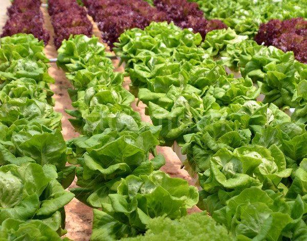 Hydroponic lettuce in greenhouse Stock photo © tang90246