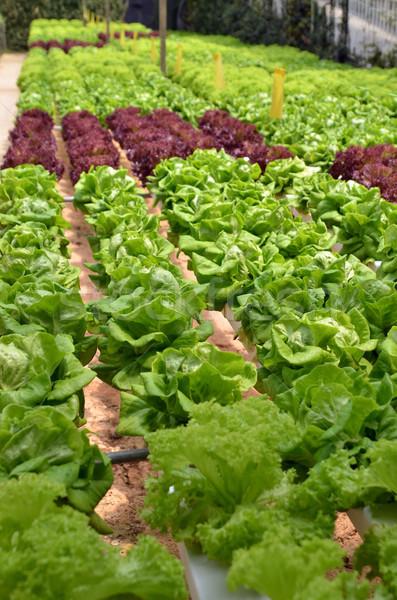 Сток-фото: салата · теплица · производства · небольшой · операция · воды