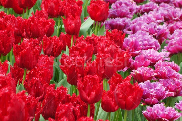 Beautiful of tulips in Gardens by the Bay Stock photo © tang90246