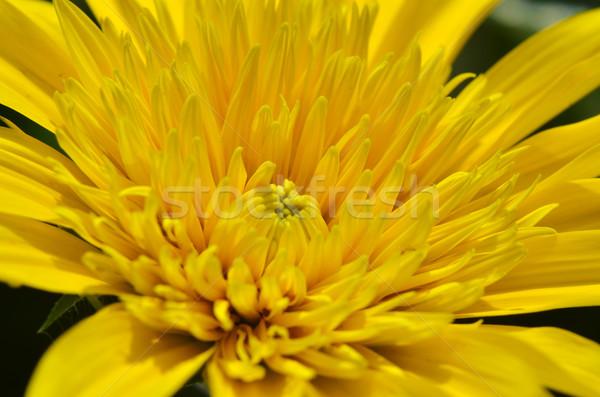 Güzel sarı krizantem çiçekler bahçe Stok fotoğraf © tang90246
