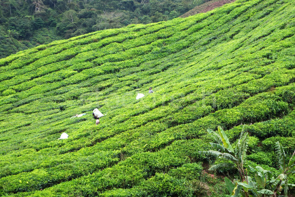 çay tarla dağlık ahşap manzara yaz Stok fotoğraf © tang90246