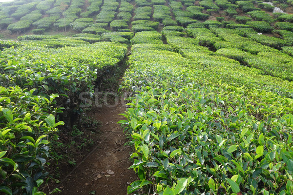 Tea Plantation in the Cameron Highlands in Malaysia Stock photo © tang90246