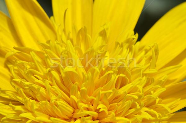 Közelkép gyönyörű citromsárga krizantém virágok kert Stock fotó © tang90246