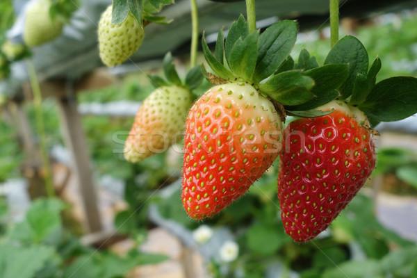 Frescos fresas crecido alimentos naturaleza hoja Foto stock © tang90246