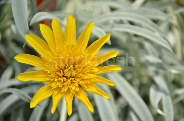 Primer plano hermosa amarillo crisantemo flores jardín Foto stock © tang90246