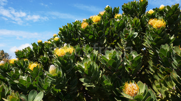 Protea, famous plant of South Africa Stock photo © tang90246