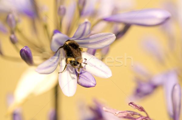 Arı renkli makro atış çiçek bal Stok fotoğraf © tangducminh