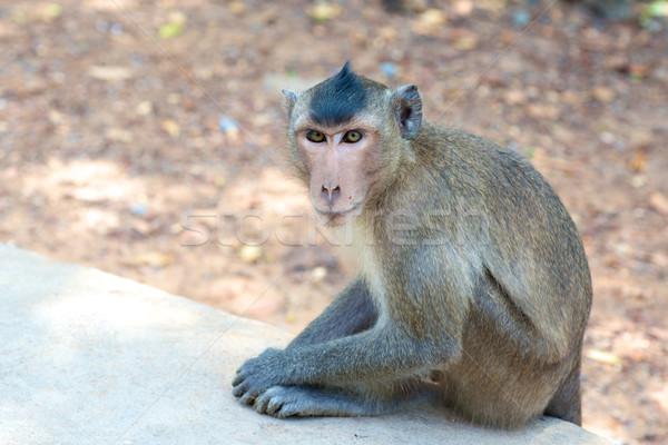 обезьяны Вьетнам сидят любопытный глядя Обезьяны Сток-фото © tangducminh