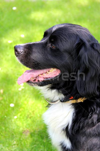 Hermosa perro jardín hierba verano Foto stock © tannjuska