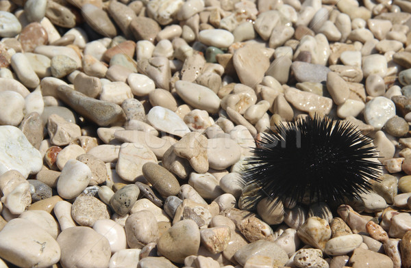 Sea urchin on the coast of Adriatic sea Stock photo © tannjuska