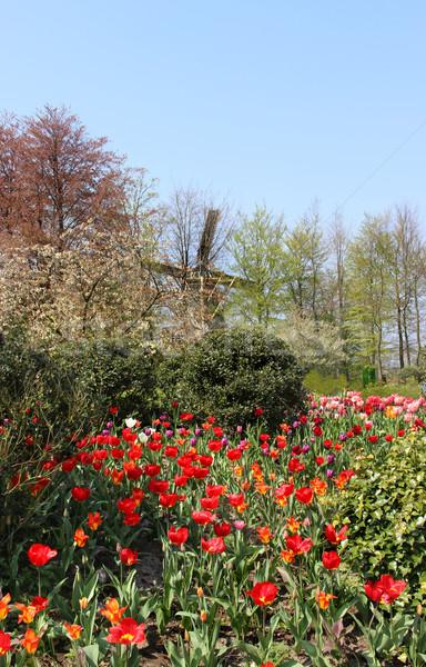 Stockfoto: Holland · veld · tulpen · prachtig · levendig · bloem