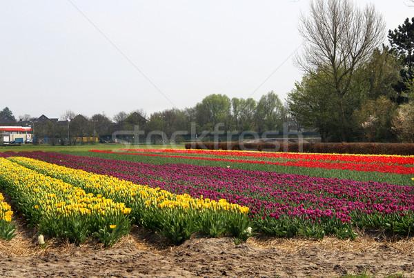 Holland tulipe champs belle Pâques Photo stock © tannjuska
