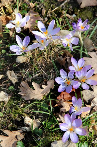 Virágzik tavasz kert tavaszi virágok napos virágok Stock fotó © tannjuska
