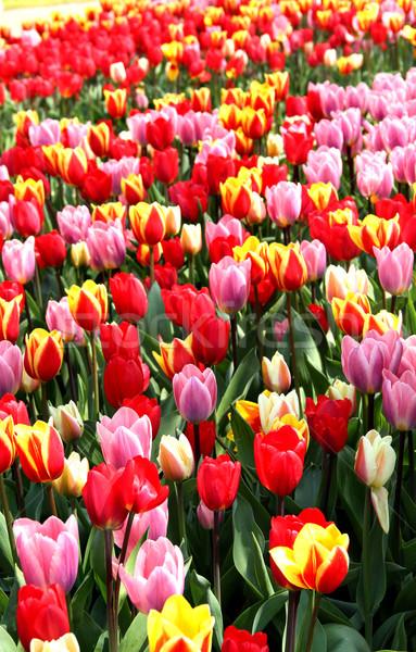 Holland tulp velden mooie levendig Pasen Stockfoto © tannjuska