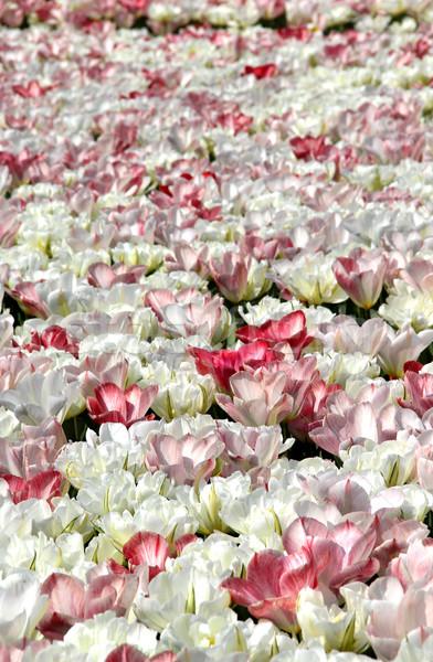 フィールド 白 チューリップ ピンク イースター 自然 ストックフォト © tannjuska
