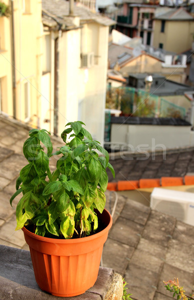 Basil on the terrace in Genova, Italy Stock photo © tannjuska