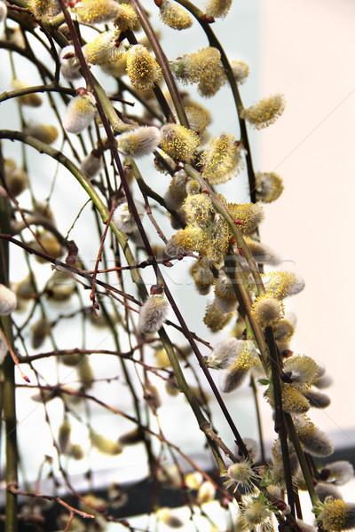 Primavera sauce rama cono hermosa flor Foto stock © tannjuska