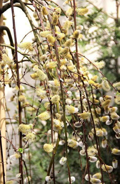 Primavera salgueiro ramo bichano belo flor Foto stock © tannjuska