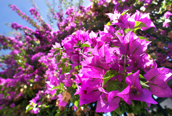Beautiful Mediterranean terrace with pink flowers Stock photo © tannjuska