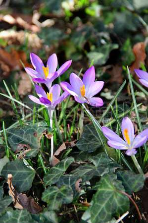 Crocus in bloom in the spring garden Stock photo © tannjuska