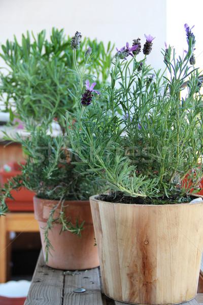 Rosemary in the pot Stock photo © tannjuska
