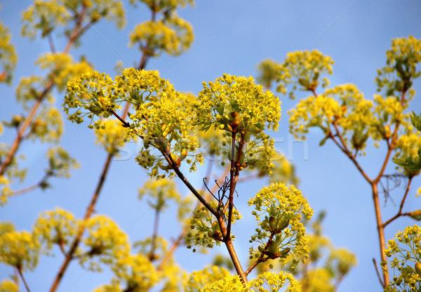 Spring trees in bloom Stock photo © tannjuska